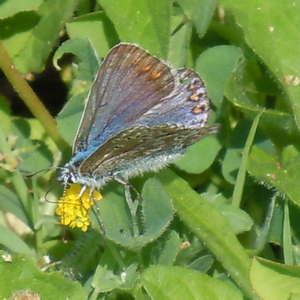 Common Blue Suffolk