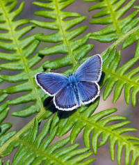 Silver-studded Blue butterfly Ransomes Ipswich